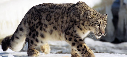 Species that live on mountains, such as the snow leopard, are particularly at risk. (photo: Tom Brakefield/Getty Images)