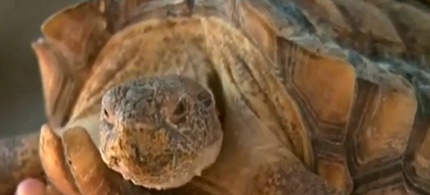 Hundreds of desert tortoises may be put to death because of a lack of funding. (photo: CBS News)