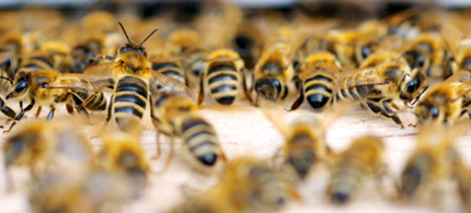 Neonicotinoids cause significant problems for honey bees, include disruptions in mobility, navigation, feeding behavior, foraging activity, memory and learning, and overall hive activity. (photo: EcoWatch)