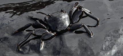 A crab covered in oil on Ao Prao Beach, Koh Samet, on July 30, 2013. (Reuters/Athit Perawongmetha)