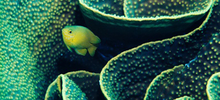 A lemon damselfish finding shelter in coral. Exposure to CO2 will make it more adventurous and endanger its life. (photo: Bates Littlehales/Corbis)