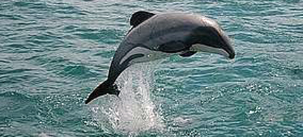 It is estimated that there are less than 55 Maui dolphins left in the world. (photo: Panda.org)