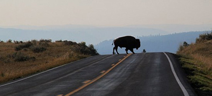 Bison crossing a highway in Yellowstone National Park. (photo: Ed Felker)