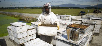 A worker from Chile helps move hives at Dr. Lin's farm in Pitt Meadows, B.C., on June 4, 2013. Honeybee colonies across Canada and the world are seeing a huge decline in numbers. (photo: Ben Nelms/The Globe and Mail)