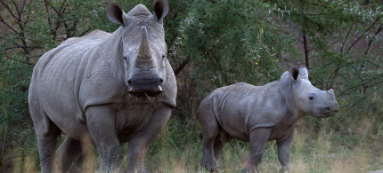 South Africa is home to nearly 20,000 or over 90 percent of the world's rhino population. In the country, more than three rhinos are poached every day. (photo: Mike Hutchings/Reuters)