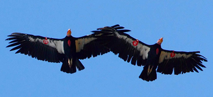 California condors. (photo: Friendsofcondors.org)