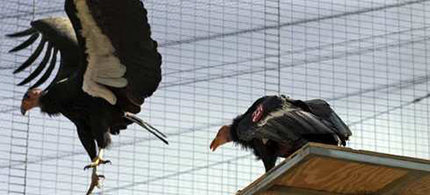 California Condors. (photo: Irfan Khan/LA Times)