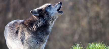 A gray wolf. (photo: Shutterstock)