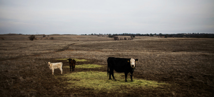 Cattle grazing in a field. (photo: Max Whittaker/Reuters)