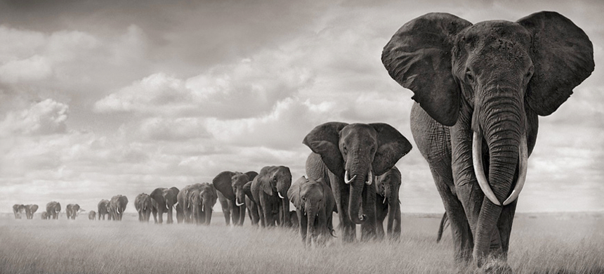 Elephants walking through tough grass in Kenya. (photo: Nick Brandt)