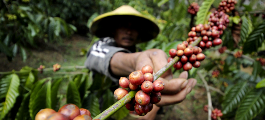 A farmer harvests robusta coffee at the Tutur Plantation in Pasuruan, East Java, Indonesia. (photo: Antara Foto/Reuters)