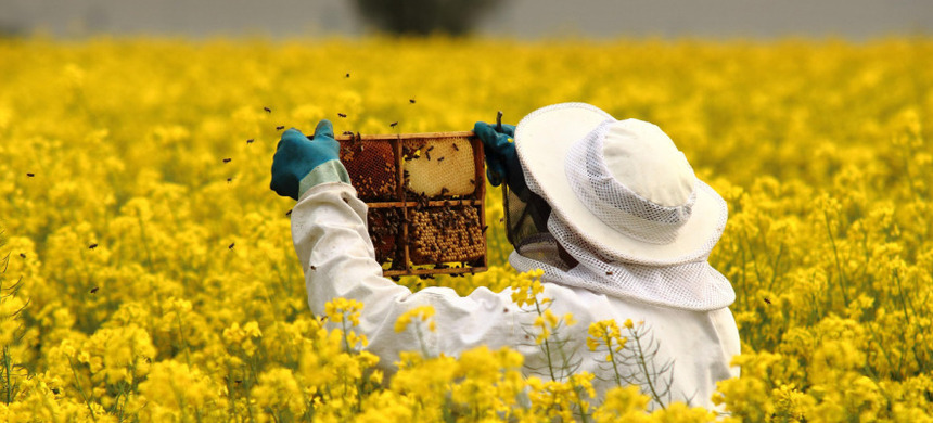 A bee keeper works in a field of flowers. (photo: AP)