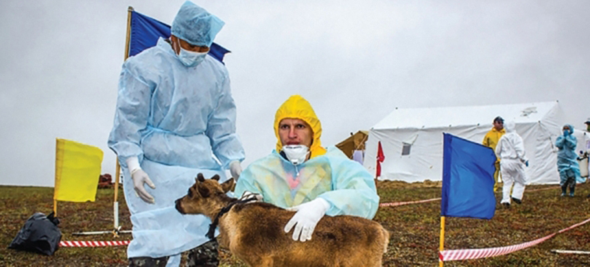 Veterinarians perform a health checkup on a young deer on the Yamal Peninsula in Siberia after an anthrax outbreak there. (photo: Russian Emergency Ministry/AFP)
