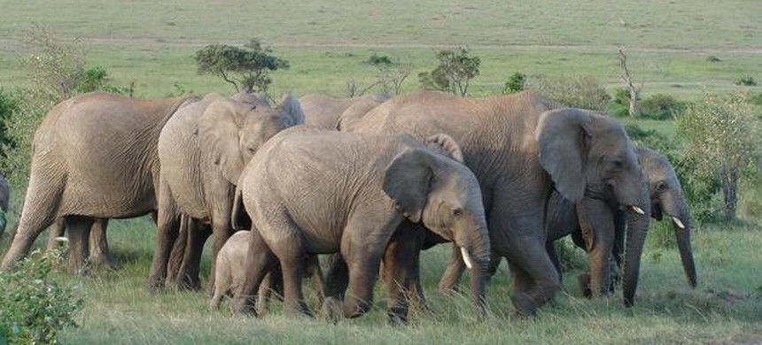 African elephants. (photo: National Geographic)