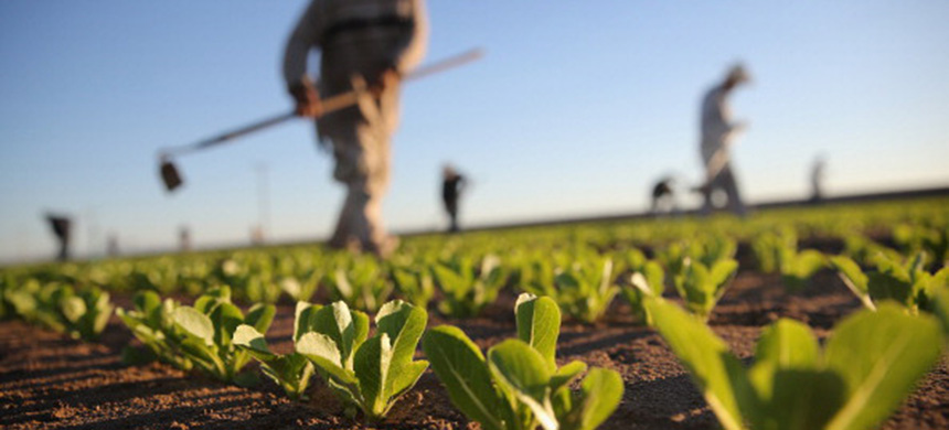 A farm worker cultivates romaine lettuce in a field. (photo: John Moore/Getty Images)
