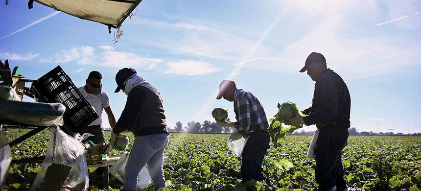 Mexican farmworkers harvest lettuce in a field outside of Brawley, California. (photo: Sandy Huffaker/AFP/Getty Images)