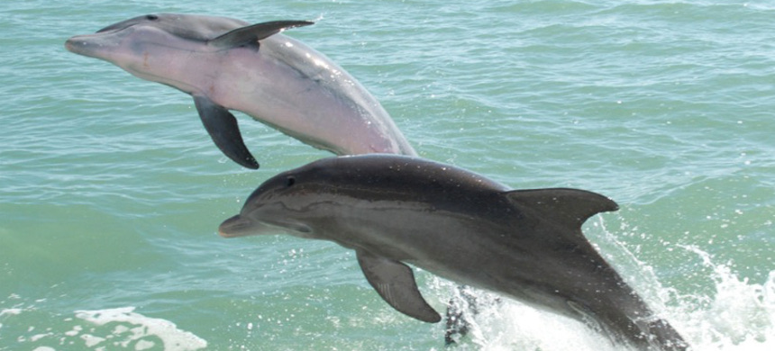 Bottlenose dolphins in the Gulf of Mexico. (photo: PMarkham/Flickr)