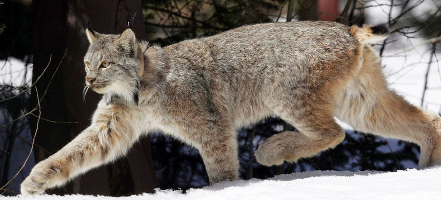 A Canada lynx heads into Rio Grande National Forest after being released near Creede, Colorado. (photo: David Zalubowski/AP)