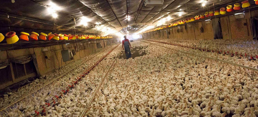 Factory chicken farm. (photo: Guardian UK)