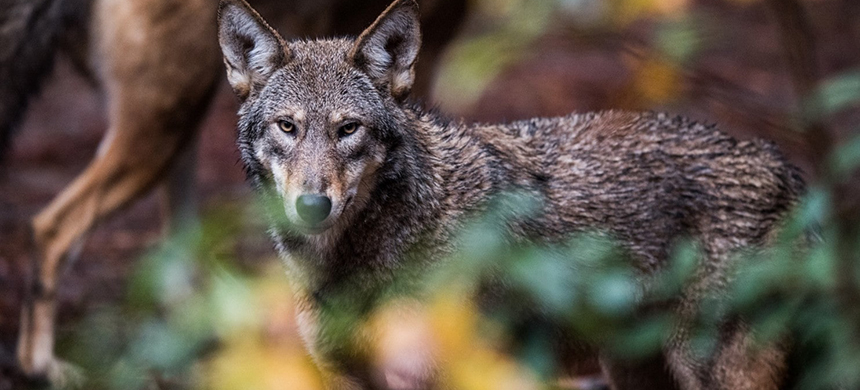 A captive red wolf at the North Carolina Museum of Life & Science. (photo: Salwan Georges/WP)