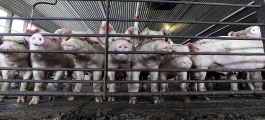 A risky U.S. Department of Agriculture (USDA) high-speed slaughter program would allow facilities to increase slaughter speeds and shift responsibility of food safety oversight into the hands of slaughter plant employees. (photo: Gerry Broome/AP)