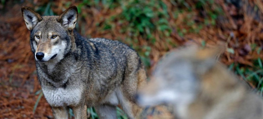 A pair of red wolves stand watch in their habitat at Museum of Life and Science, in Durham, North Carolina. (photo: Gerry Broome/AP)