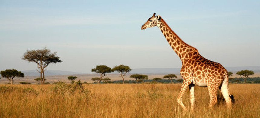 A giraffe. (photo: National Geographic)