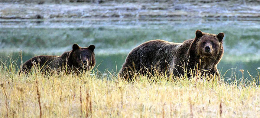 A Grizzly bear mother and her cub walk near Pelican Creek in the Yellowstone National Park in Wyoming, October 8, 2012. (photo: Karen Bleier/AFP)
