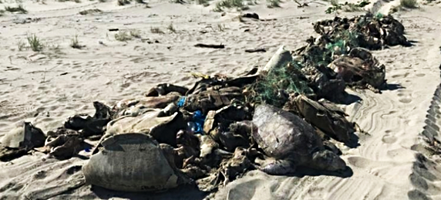 It appears that hundreds of Olive Ridley (Lepidochelys olivacea) sea turtles died after they became entangled in an illegal fishing net. (photo: PROFEPA)