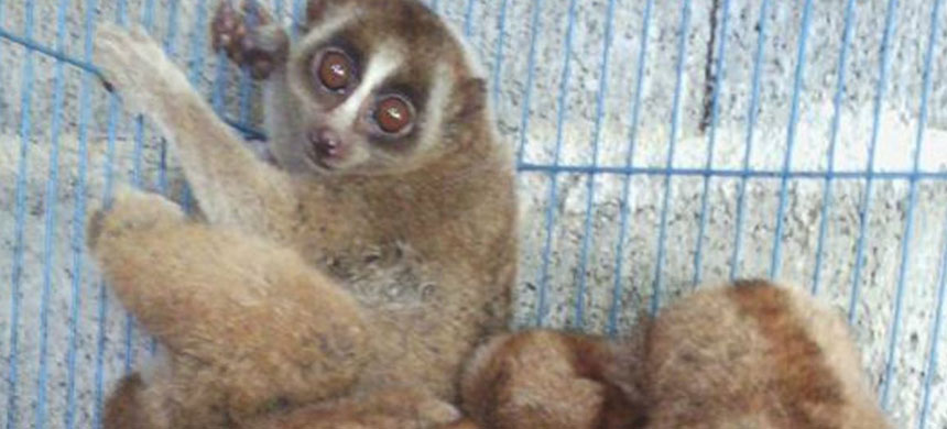 'More than 500 individuals listed were mammals, with 139 listings of the Sunda slow loris, a threatened primate.' (photo: Mongabay)