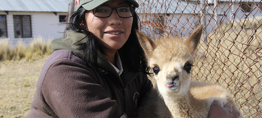 Park ranger Mily Cárdenas with a young rescued vicuña. Every day, vicuñas are carefully watched over at Pampa Galeras National Reserve. (photo: Vanessa Romo/Mongabay Latam)