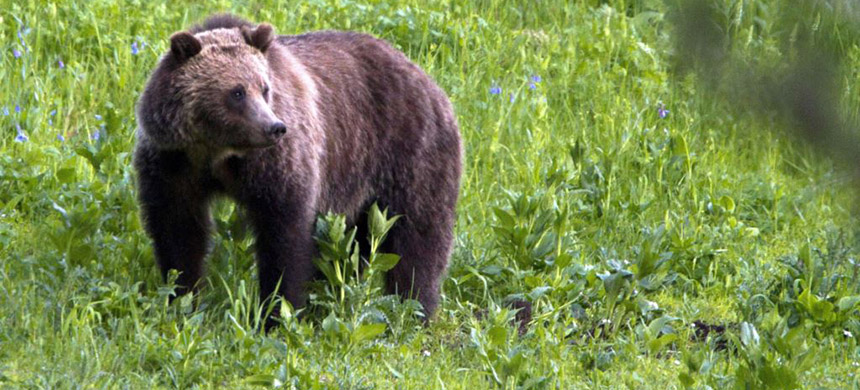 A grizzly bear is seen roaming near Beaver Lake in Yellowstone National Park, Wyoming, July 6, 2011. (photo: VOA)