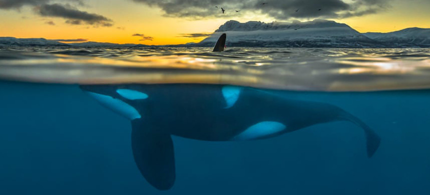 Split-view of a killer whale at sunrise off the coast of northern Norway. (photo: Audun Rikardsen/Science)