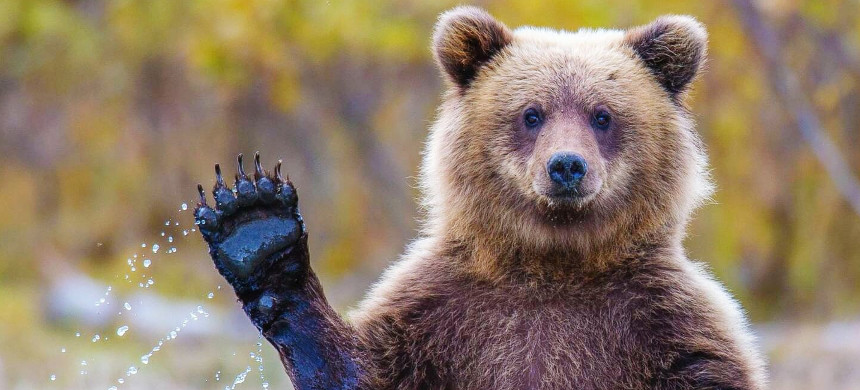 The grizzly bear is listed as an endangered species in the U.S. (photo: Alex Bondarenko/Getty)