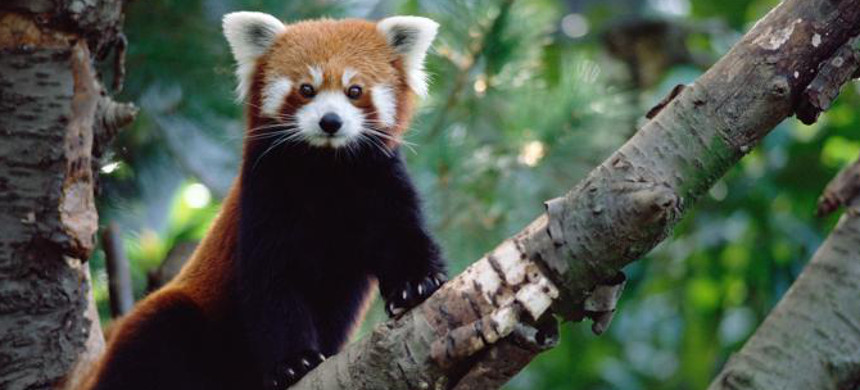 Red pandas represent 31 million years of unique evolutionary history, which is now endangered. (photo: Gerry Ellis/Minden Pictures)
