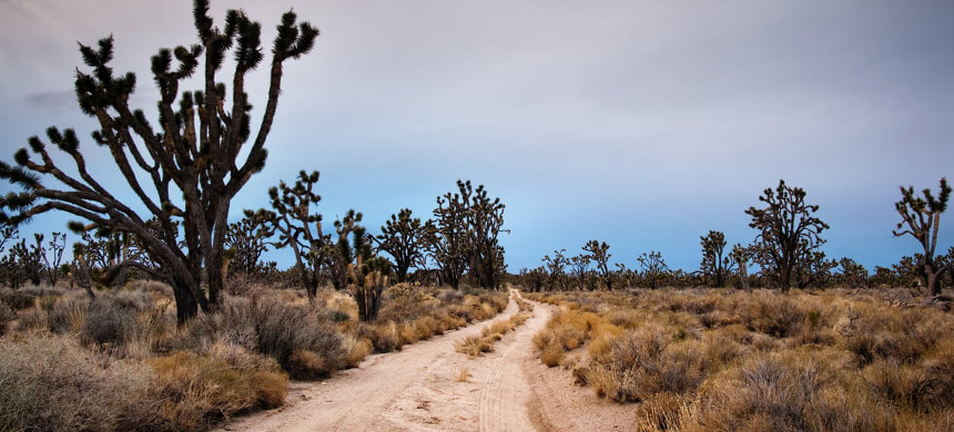 Most of Joshua Tree National Park could become uninhabitable for its eponymous trees, according to a new study. (photo: Eric Lowenbach/Getty)
