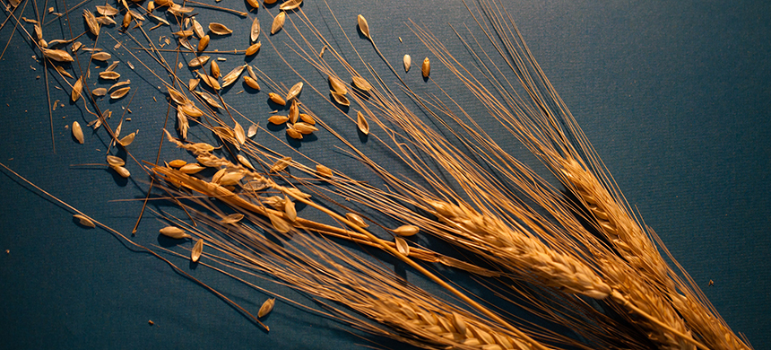 Wheat. (photo: Heather Kim/NPR)