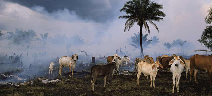 Cattle in the Amazon rainforest. (photo: Michael Nichols/National Geographic/Getty Images)