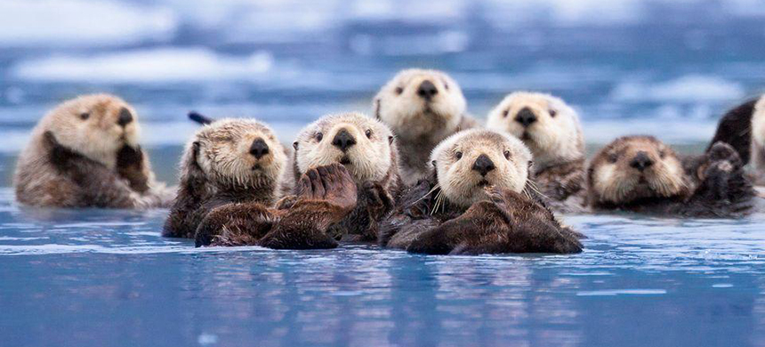 'Endangered sea otters and other critters just won a reprieve from the Trump administration's assault on our oceans for dirty oil,' Monsell stated. (photo: MountainandSea.org)