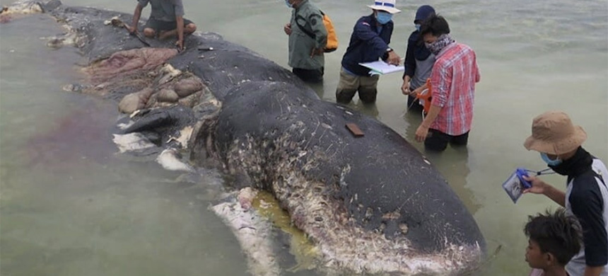 A sperm whale that washed up in Indonesia's Wakatobi National Park had plastic bottles, bags and cups in its belly. (photo: @WWF_ID/Kartika Sumolang)