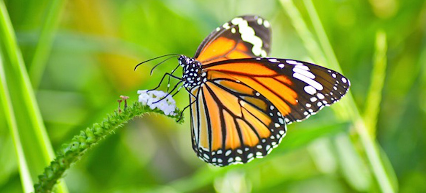Monarch butterfly. (photo: iStock)