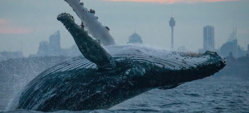A whale surfaces off the coast of Australia. (photo: John Goodridge/ABC)