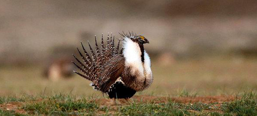 Sage grouse. (photo: David Zalubowski/AP)