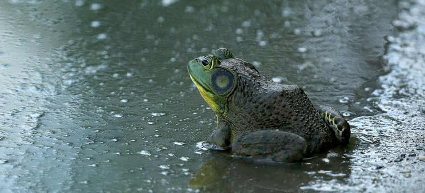 An American bullfrog in a pond in Farmingdale, New York. (photo: David Cannon/Getty Images)