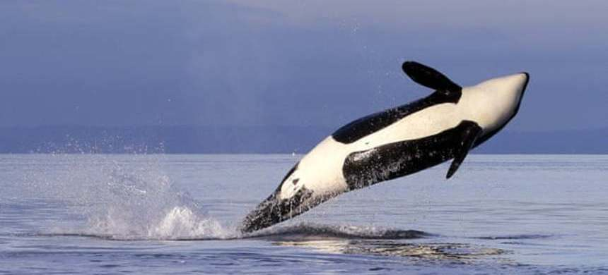 A female orca leaps from the water while breaching in Puget Sound, west of Seattle. (photo: Elaine Thompson/AP)