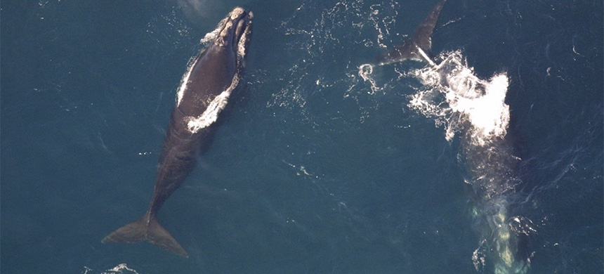 Seismic airgun blasting has been proposed within the same main range of imperiled North Atlantic whales. (photo: NOAA)