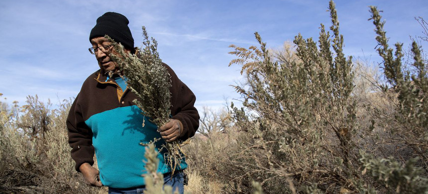Jonah Yellowman, a 66-year-old Navajo spiritual leader, gathers sage on Cedar Mesa not far from the base of the Bears Ears buttes in southeastern Utah. He uses the plant in weekly ceremonies. (photo: Brian van der Brug/LA Times)