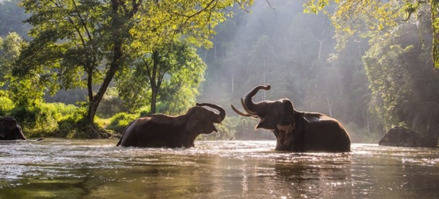 Two elephants play in a river in Thailand. (photo: Wootthisak Nirongboot/Getty Images)