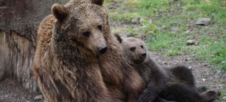 A mother bear and her two cubs were shot in their den in Alaska. (photo: Getty)
