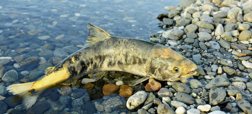 Biologist Mike Pearson found that poor work on the Trans Mountain pipeline made a local stream unsuitable for chum salmon. (photo: Shutterstock)